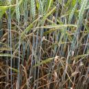 KWS Kielder wheat untreated with fungicide in July and showing high levels of yellow rust