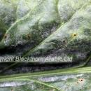 Powdery mildew and rust infection on sugar beet leaf