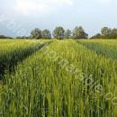 Winter barley field view as awns show in mid May
