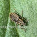 Pea and bean weevil -sitona on bean leaf