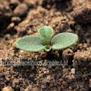 Field pansy expanded cotyledons stage
