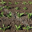 sugar beet young plants