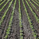Sugar beet young plants in rows