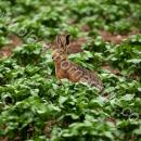 Brown hare in potato field in June