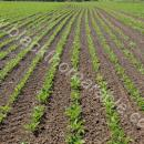 Sugar beet rows, young plants