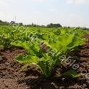 Sugar beet close up of young plants