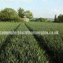 Wheat just breaking ear in sussex