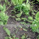 Pea crop with broad leaf weeds, mainlly black bindweed