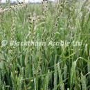 Italian ryegrass above a wheat crop