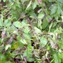 severe attack of potato blight late in season