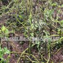 Leaves of potato crop destroyed by blight