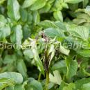 potato blight on foliage