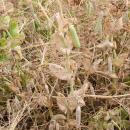 pea crop at stage for desiccation