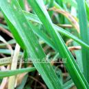 Mildew on leaf of winter barley crop