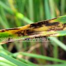 Net blotch on barley leaf