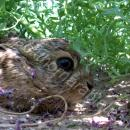 Young hare (levret) hiding under fumitory weed cover