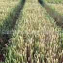 Take all in winter wheat. The nearest part is second wheat, the far end first wheat