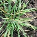 Severe mildew infection in well tillered barley crop