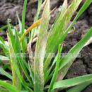 Close up of severe mildew infection  on barley leaf