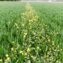 Missed strip of charlock in a wheat crop showing herbicide effect