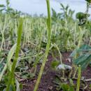 Fenugreek crop devastated by hailstorm
