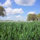 Wheat crop in spring against a deep blue sky with trees in the background
