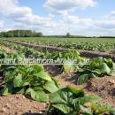 Crop of salad potatoes rosette stage around tuber initiation