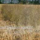 Loose silky bent in untreated area showing control achieved by Broadway Star in winter wheat