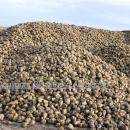 Sugar beet in a heap or clamp  for  storage