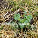 Oilseed rape plant in spring emerging from a mass of blackgrass which has been controlled by Kerb
