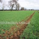 Crop of Gallant in March well tillered and approaching GS 30