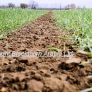 View down the tramline of a crop of Gallant in March well tillered and approaching GS 30