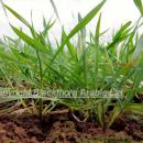 Looking directly at the stem bases of a crop of wheat in spring approaching GS 30, T0 showing some d