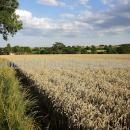 Field of wheat in Essex, ripe with house and trees in distance.