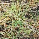 resistant and sensitive blackgrass sprayed with herbicide