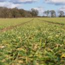 Winter barley in late winter coming up to GS 30