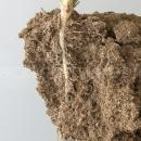 sugar beet plant showing early root development