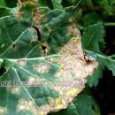 Severe phoma on volunteer rape plant