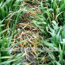 Wild oat control in wheat with clodinafop