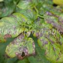 Alternaria lesions on leaf of Maris Piper