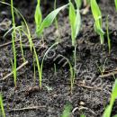 small ryegrass plants in winter barley