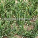 Wheat crop in spring at T1  Agronomists view