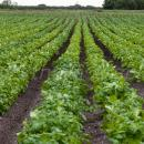 Managese deficiency in field of potatoes