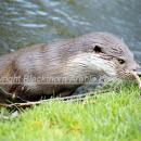 Otter emerging from stream