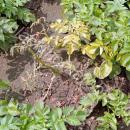 Potato plant dying from seed borne disease, symptoms typical of dickeya