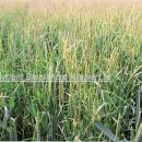 Severe control failure- blackgrass heads in winter wheat crop