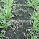 Blackgrass control in winter wheat with a clodinafop based application