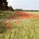 Poppies in the unsprayed field margin of a barley crop in Norfolk