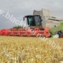 Claas Lexion Combine in wheat