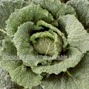 Savoy cabbage showing head and outer leaves